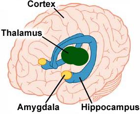 Diagram of brain indicating the amygdala